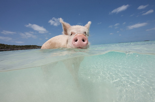 pig island, bahamas4